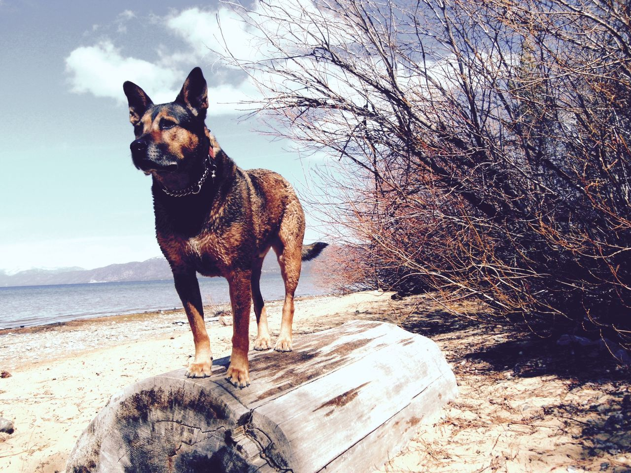 Beautiful stock photos of german shepherd, Animal Themes, Beach, Day, Dog