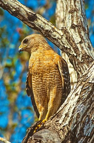A Red Shouldered Hawk in a tree. Bird Animals In The Wild Tree Animal Themes Animal Wildlife Hawk Raptor Bird Of Prey Red Shouldered Hawk Nature Beauty In Nature Close-up Beautiful Nature Wildlife Beautiful EyeEm Masterclass EyeEm EyeEmBestPics EyeEm Gallery EyeEm Best Shots EyeEm Best Edits America American Feather  Photography