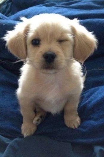Goldenretriever Cute Pets Dog Puppy