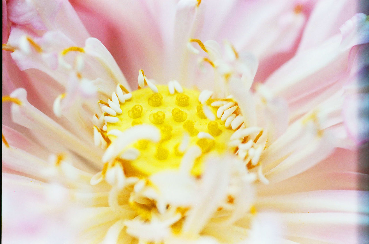 flower, petal, fragility, freshness, beauty in nature, nature, flower head, growth, close-up, selective focus, pollen, no people, yellow, plant, day, blooming, outdoors