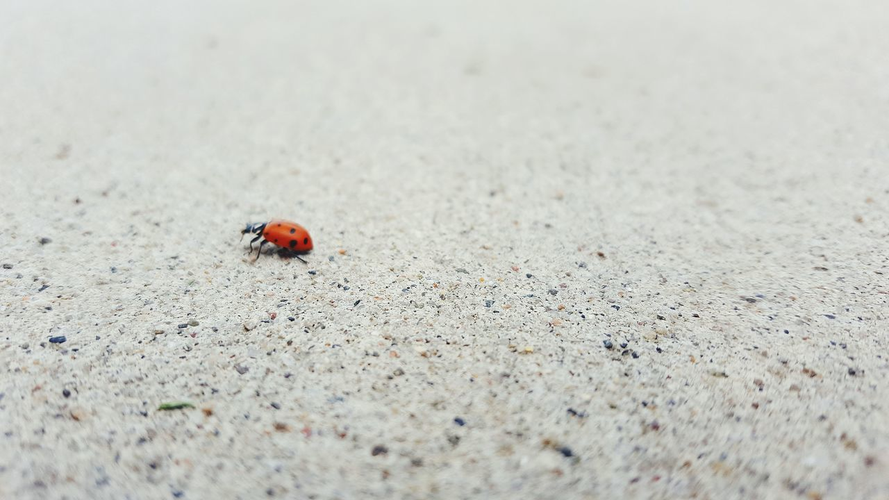 Ladybug Red Close-up Nature Outdoors Day No People Insect One Insect Crawl Bug One Animal Single Object Single Insect Shotzdelight Beauty In Nature Wander Tranquility Love All Living Things Outside Bugs Optoutside ExploreEverything TheGreatOutdoors Opt Outside