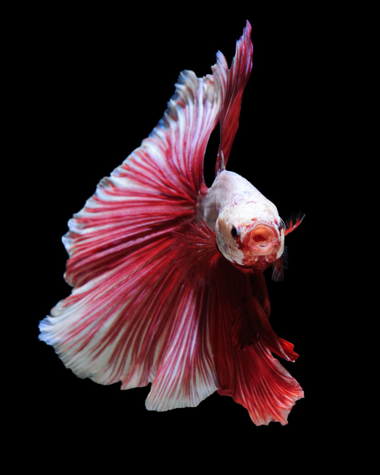 White-red betta fish, siamese fighting fish on black background Beauty In Nature Betta Fish Betta Lovers Bettafishcommunity Bettasiamesefish Black Background Close-up Fine Art Photography Flower Flower Head Focus On Foreground Fragility Growth Nature No People Outdoors Petal Pink Color Pollen Selective Focus Siamese Fighting Fish