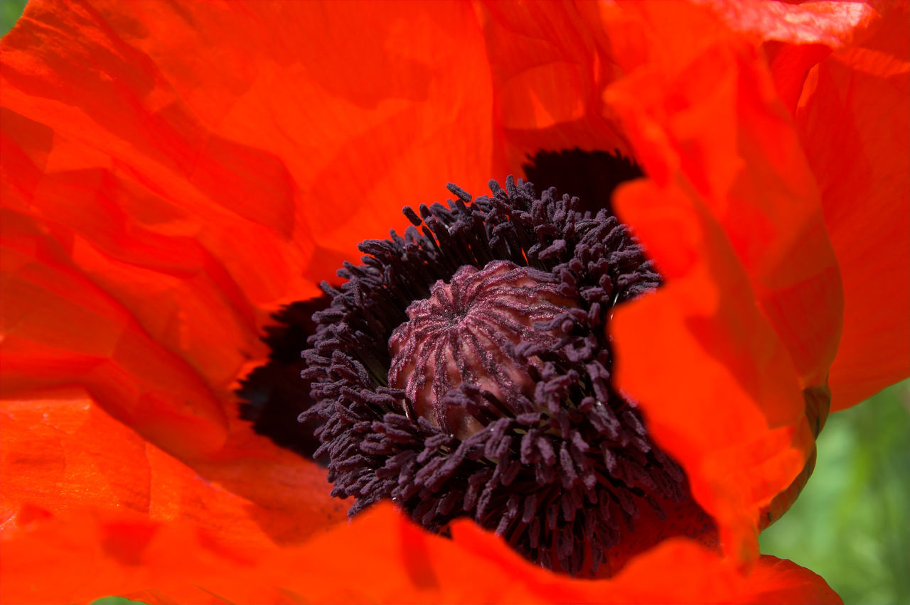 oriental poppy in red - papaver orientale Beauty In Nature Close-up Flower Flower Head Fragility Freshness Macro Nature Nectar No People Opium Opium Poppies Oriental Poppy Outdoors Papaver Orientale Petal Pollen Poppy Poppy Flower Poppy Flowers Poppy Seed PoppySeed Red Single Flower Stem