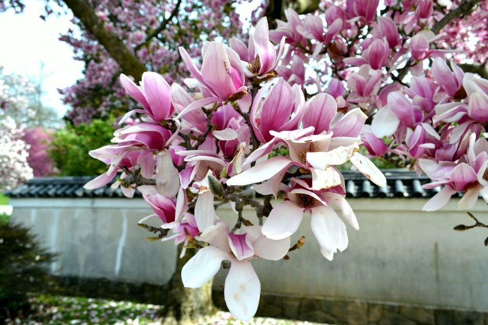 Cherry Blossoms Cherry Blossom Sakura Fairmountpark Flowering Tree EyeEm Nature Lover Showcase April