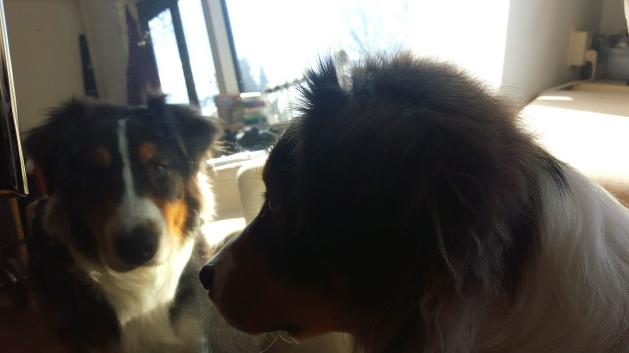 Taking Photos Dogslife OpenEdit Sunny Day Mirror Seeing Double At Last We Meet Blurry Australian Shepherd  Animals My Home