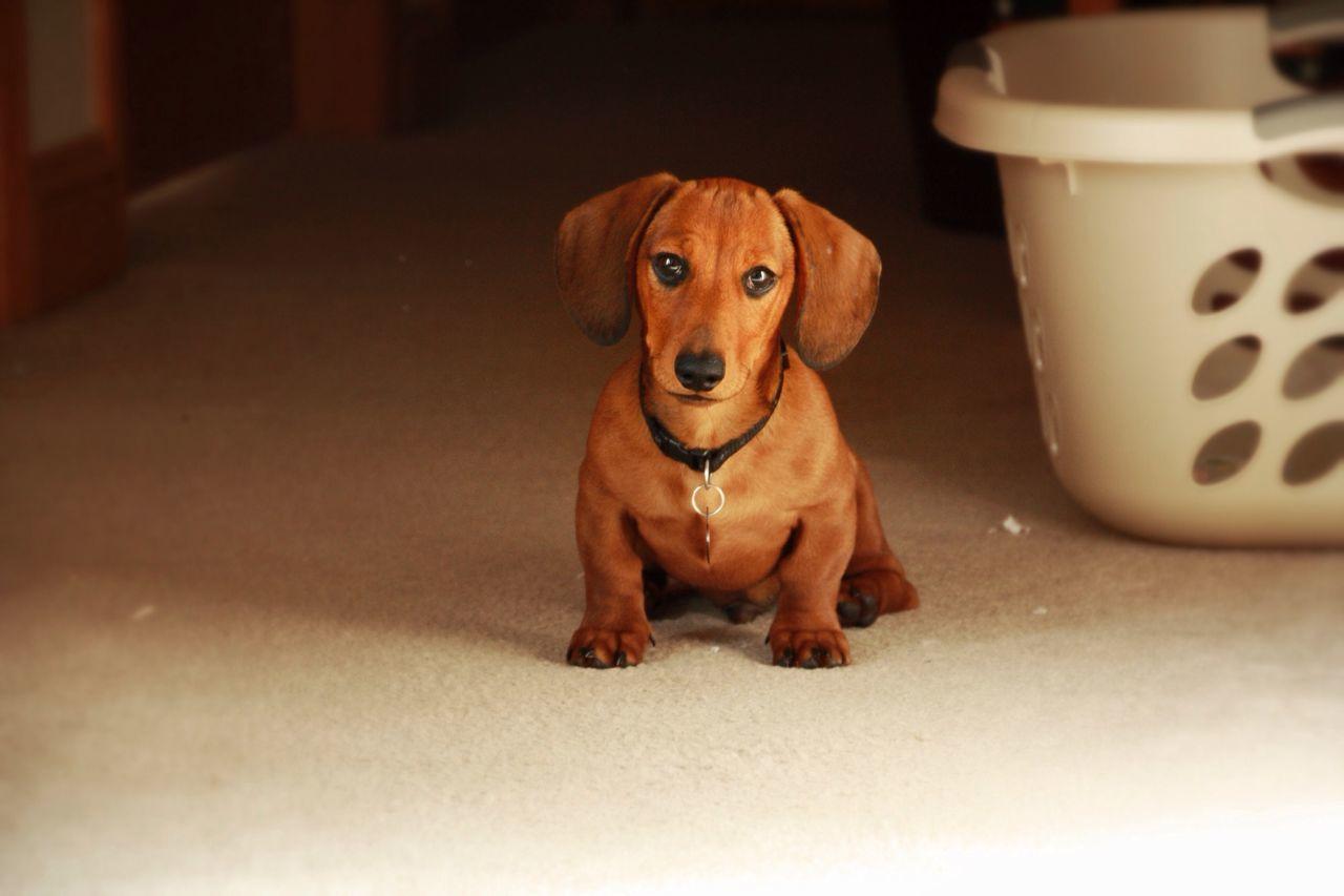 Dog Puppy Dachshund Cute