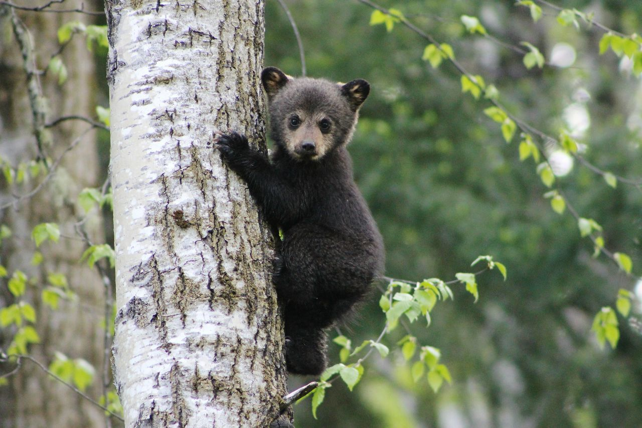 tiens-toi bien bébé ! First Eyeem Photo Close-up Beauty In Nature EyeEm Best Shots EyeEm Nature Lover Tranquil Scene Bear Tree Tree Trunk Mammal Animals In The Wild Ourson Animal Themes Young Animal One Animal Animal Wildlife Bear Cub Outdoors Day The Great Outdoors - 2017 EyeEm Awards