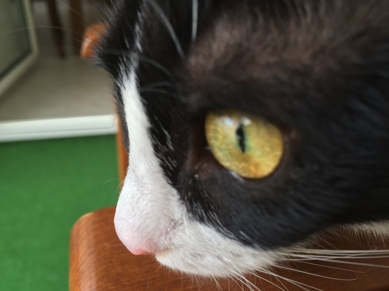 domestic animals, pets, one animal, domestic cat, animal themes, mammal, feline, whisker, animal head, cat, indoors, portrait, close-up, no people, looking at camera, yellow eyes, day