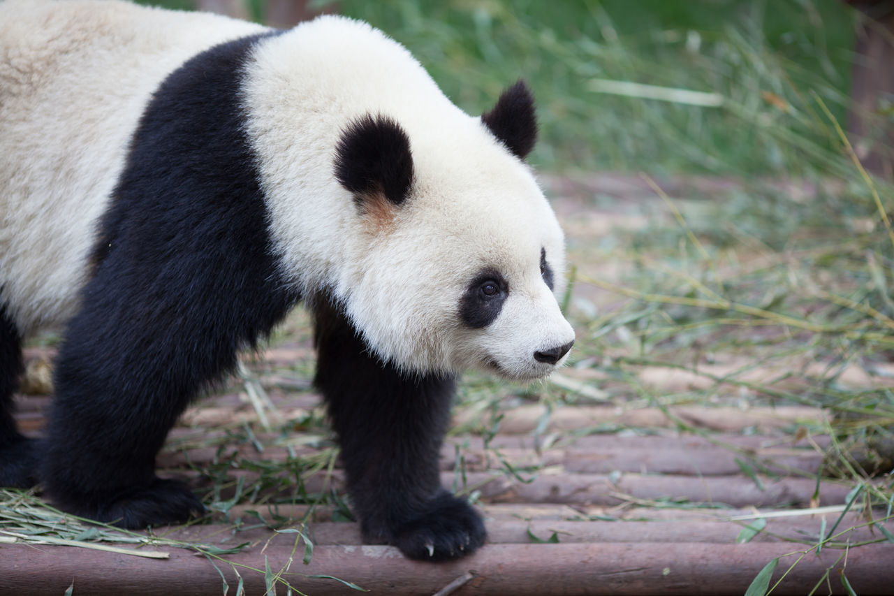 Beautiful stock photos of panda, Animal Themes, Animals In The Wild, Bear, Black Color