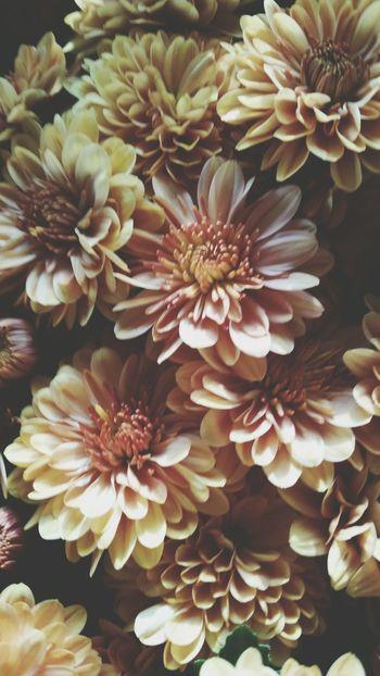Mums FallFlowers Flowerporn Flower_Collection