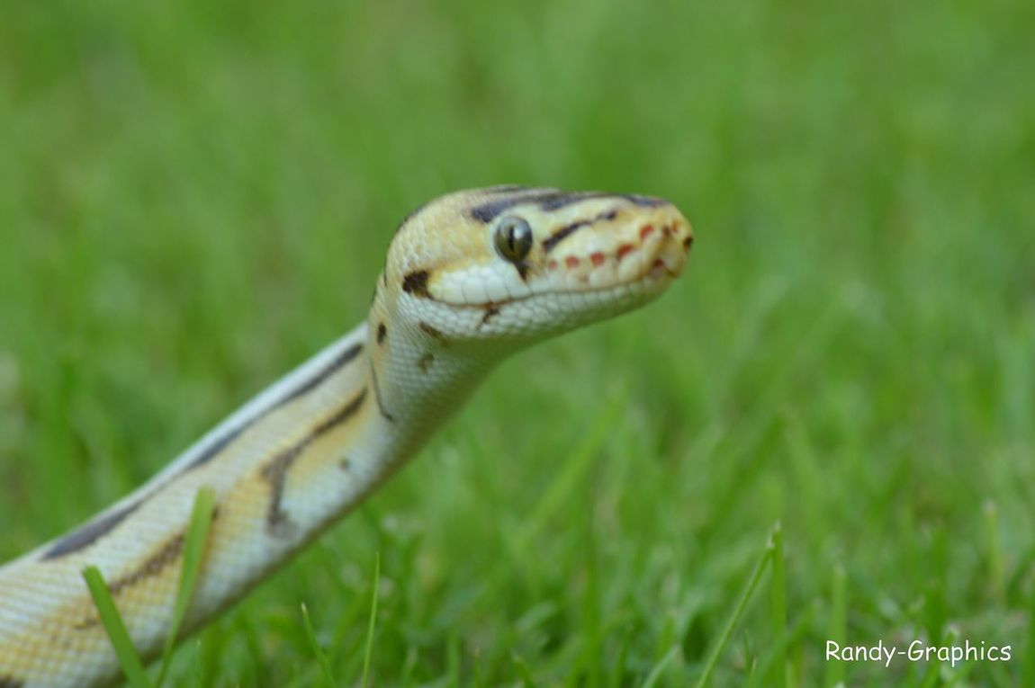 Snake Slang Pythonregius Dessertspider