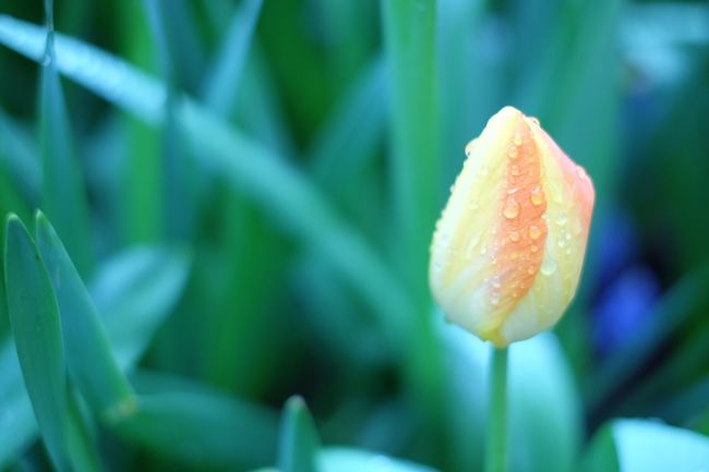 Flower Collection Tulip Colors Dew Drops Lovely Why Are You So Beautiful Fujixa2 Nature