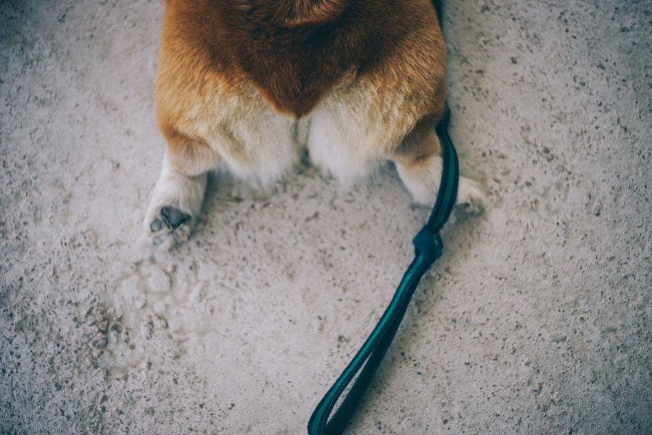 Animal Themes Close-up Corgi Day Dog Domestic Animals Domestic Cat Feline Indoors  Mammal No People One Animal Pets Tail