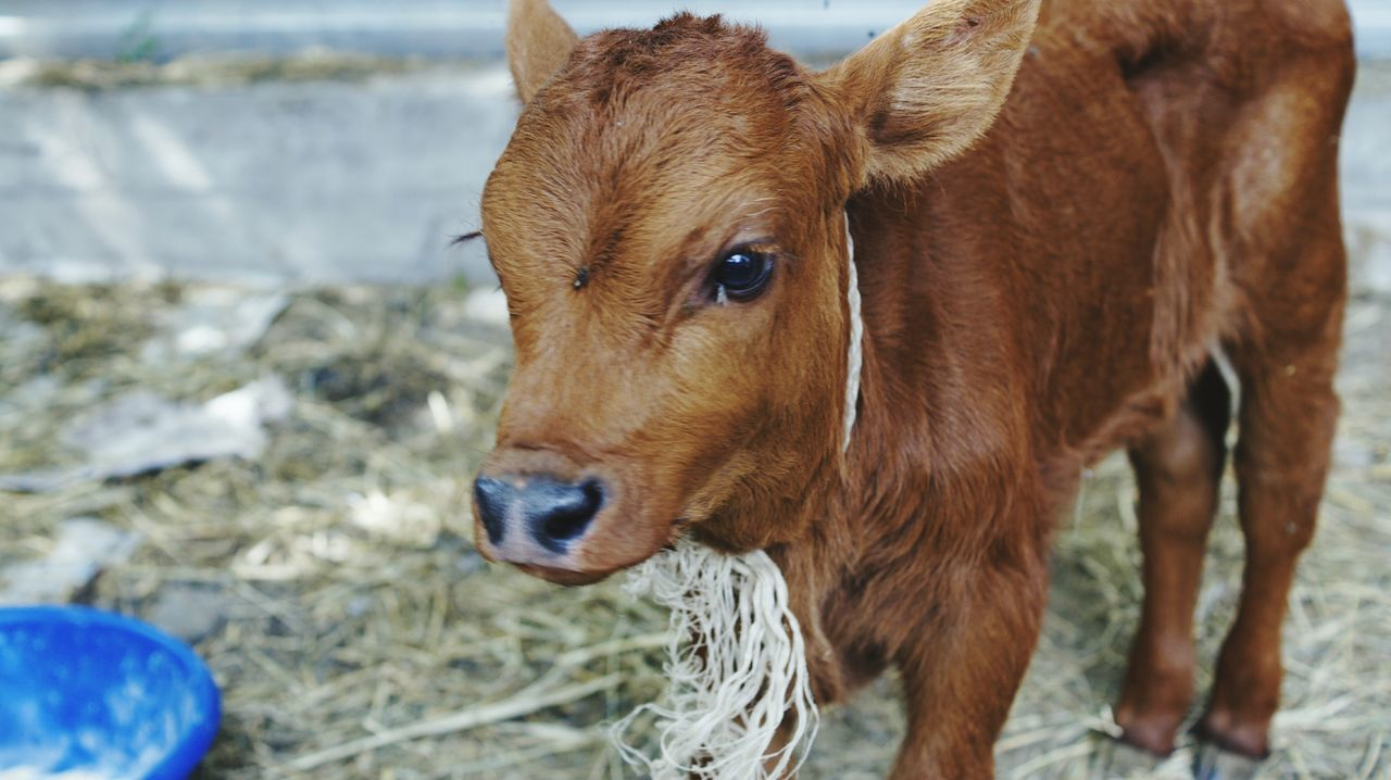 Beautiful stock photos of cow, Animal, Animal Themes, Calf, Cattle