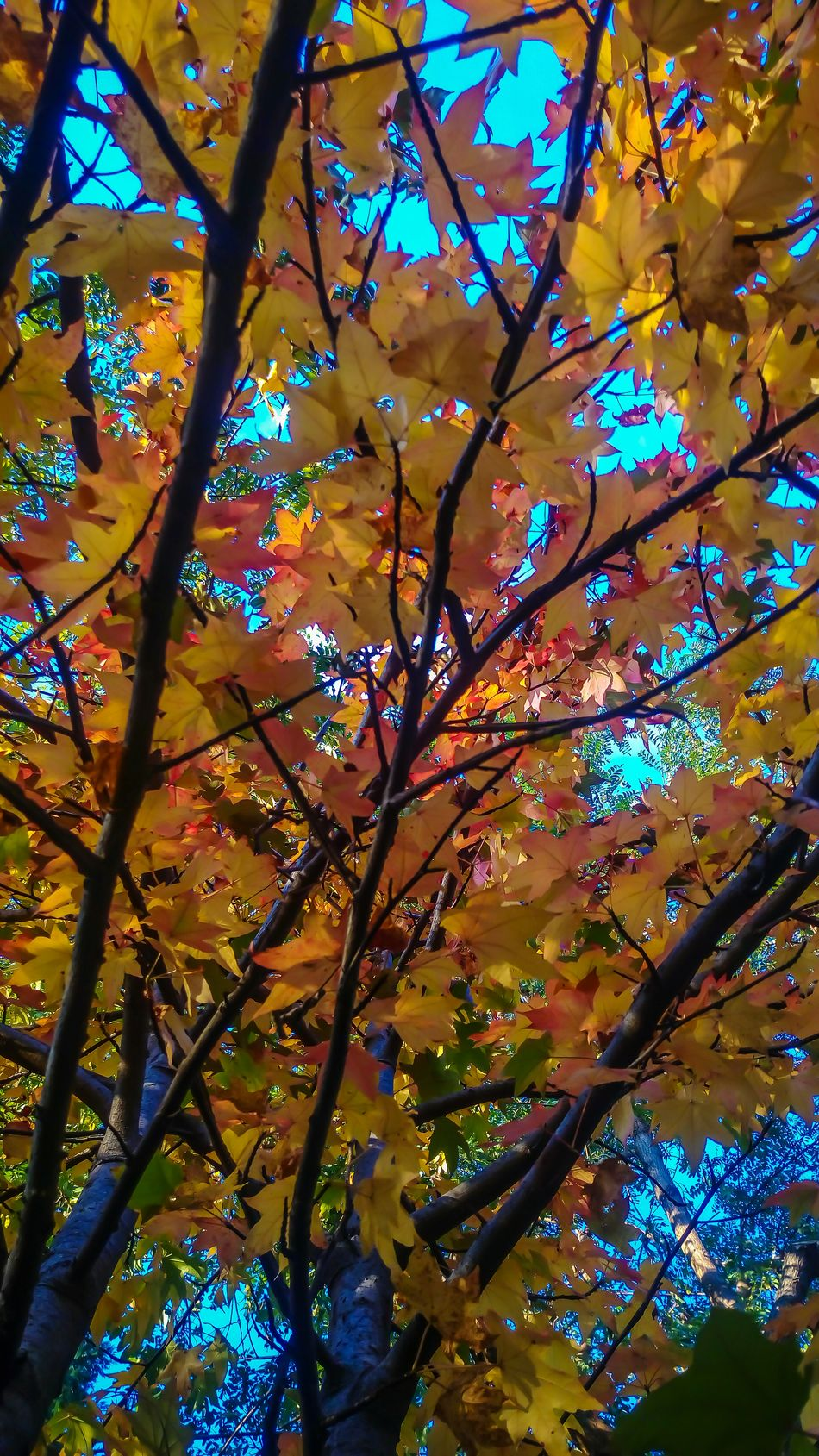 Tree Liquidambar Colors Color Explosion In The Wood Countrystyle Countryhouse Athomeinthewood Athomeinthemountains StonexOneGalileo Garden Photography At Home Sweet Home Mygardentoday Autumn Colors Autumn Orange Color Beauty In Nature Tree Tranquility Autumn Beauty In Nature