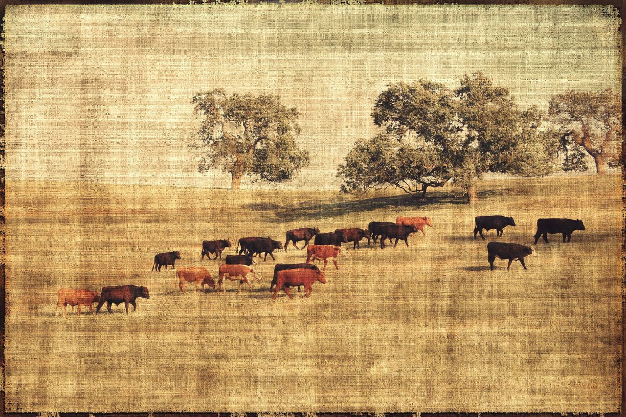 Fine Art Photography Cows Cows In The Fields Cows Grazing Cows In A Field Field Rustic Vintage Texture Home Is Where The Art Is Pasture Textured  Textures Fresh On Eyeem  California Santa Ynez Showcase July Santa Ynez Tapestry Farming Farm Farm Animals Animals Landscapes Cattle