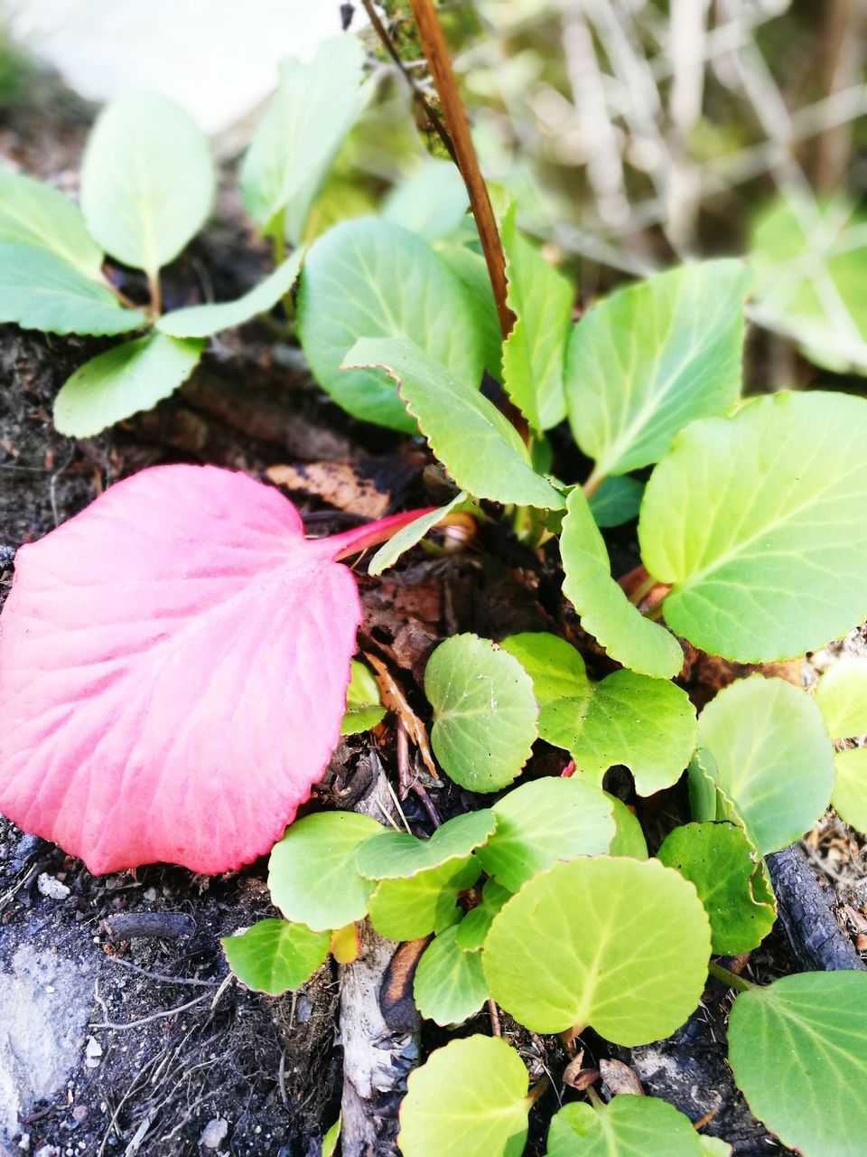 leaf, plant, fragility, growth, nature, freshness, high angle view, day, green color, petal, beauty in nature, close-up, outdoors, no people, flower, flower head, blooming, animal themes, periwinkle
