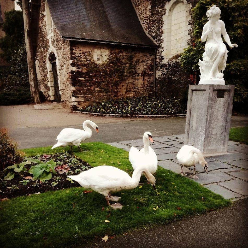 Swans Rencontre