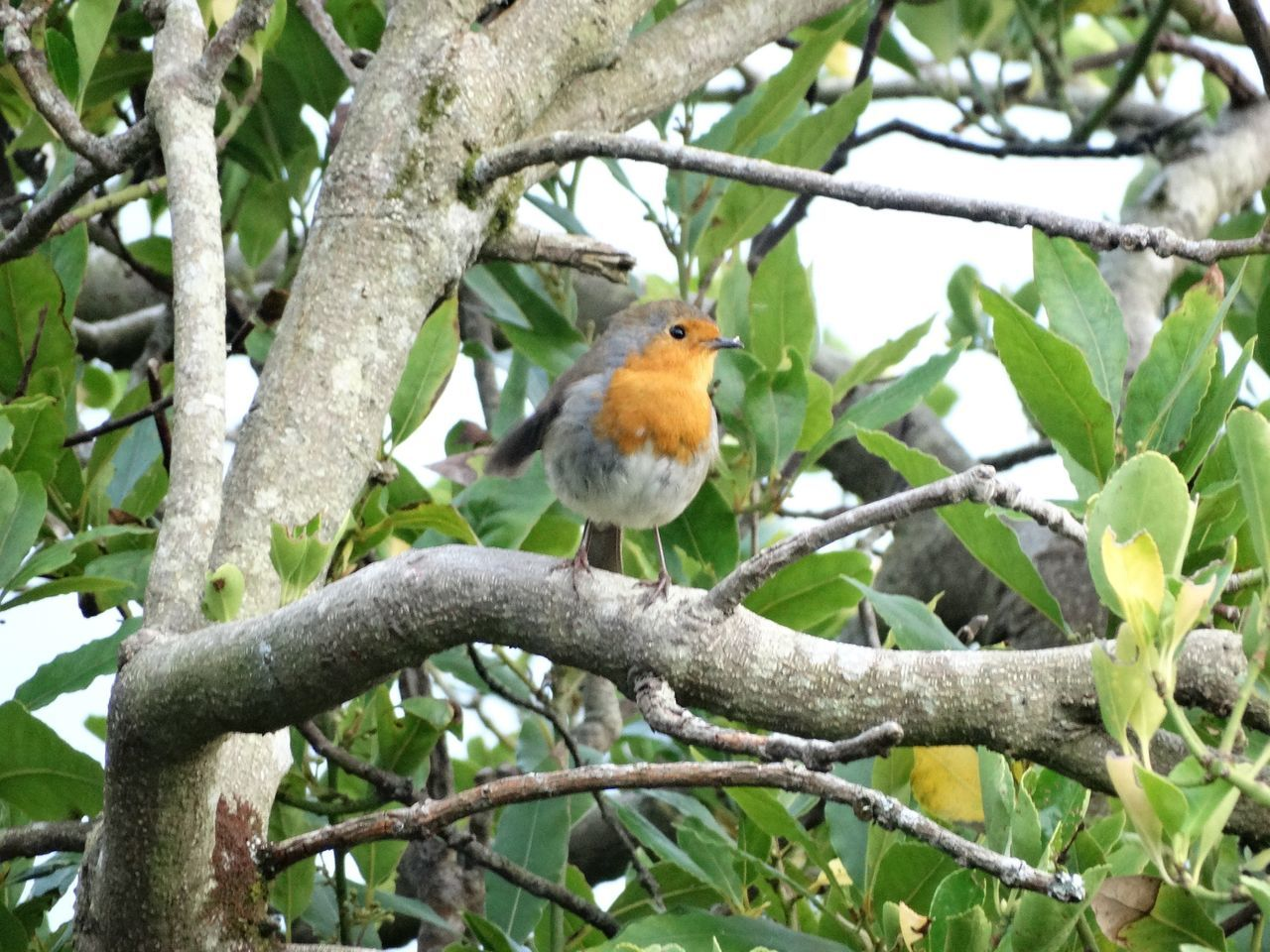 Robin on branch. Bird Branch Tree Animal Themes One Animal Perching Animal Wildlife Nature Robin Animals In The Wild Low Angle View No People Beauty In Nature Day Outdoors Birds Animals Beauty In Nature Trees Bird In A Tree Scenics