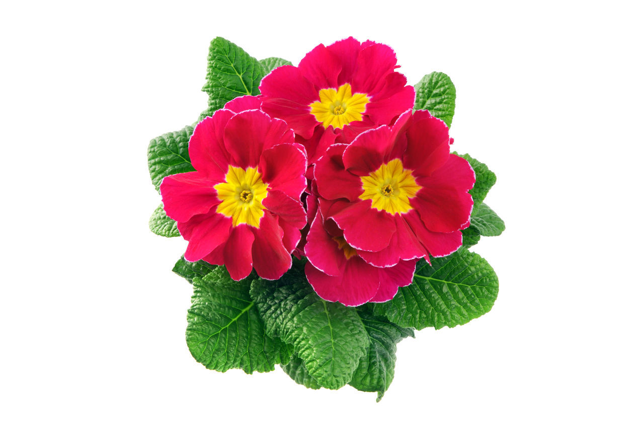 pink primula flower in flowerpot on white isolated background. Gardening Isolated Isolated On White Isolated White Background Pink Pink Flower Potted Plant Primrose Primroses Primula Primulas Yellow