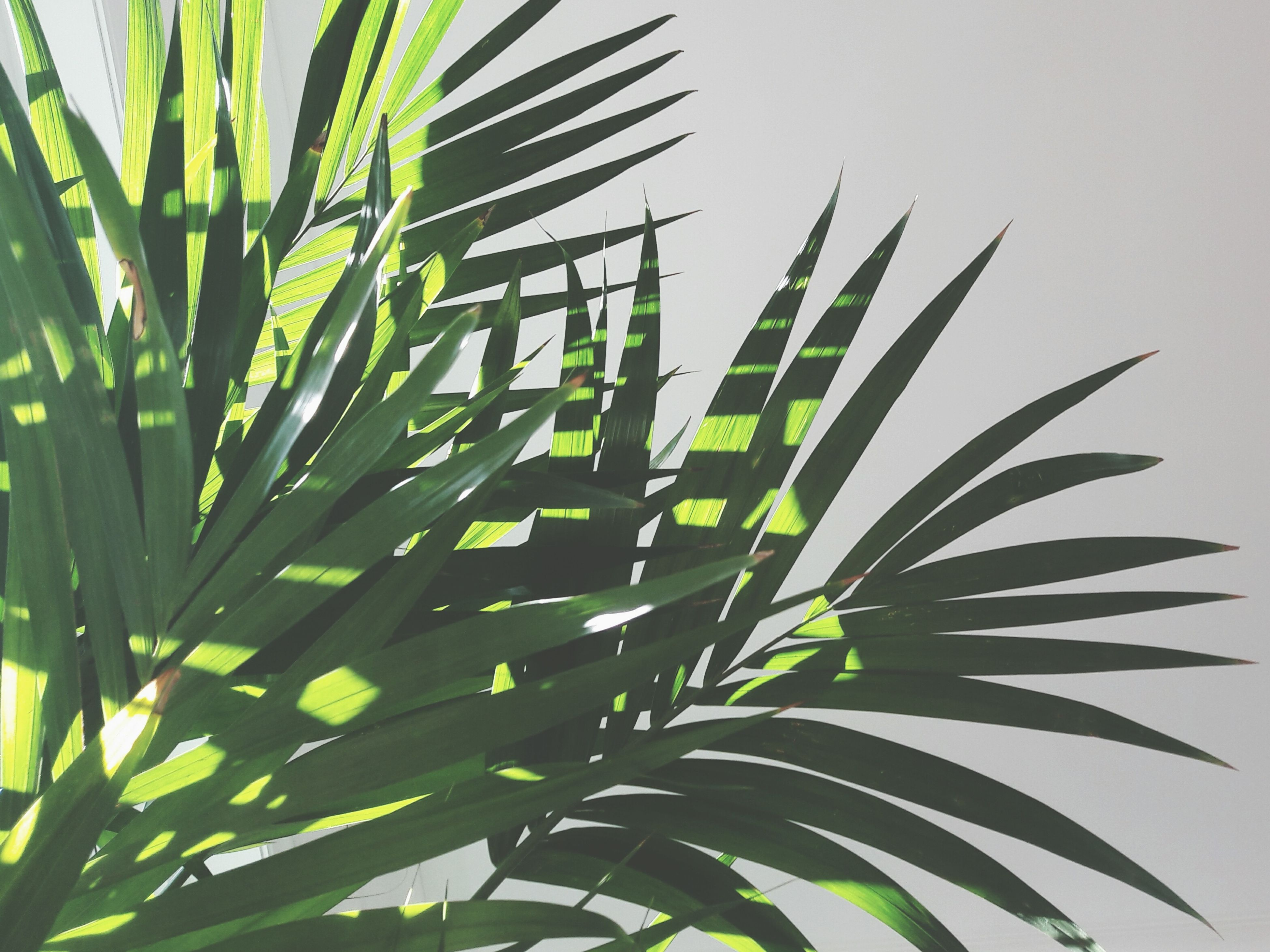 growth, leaf, plant, green color, palm tree, nature, palm leaf, beauty in nature, frond, no people, day, close-up, outdoors, tree, freshness, sky