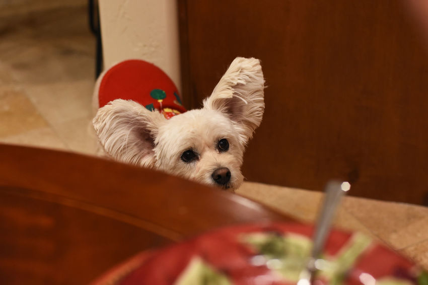 Waiting for something to drop from the dinning table. Aniamls Close-up Dog Indoors  My Pet No People Non-urban Scene Pet