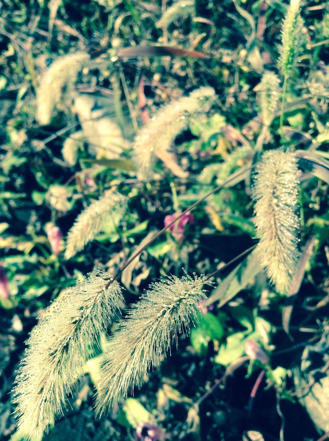 Japan Nature Naturelovers Nature_collection Foxtail Green Bristle Grass Green Grass