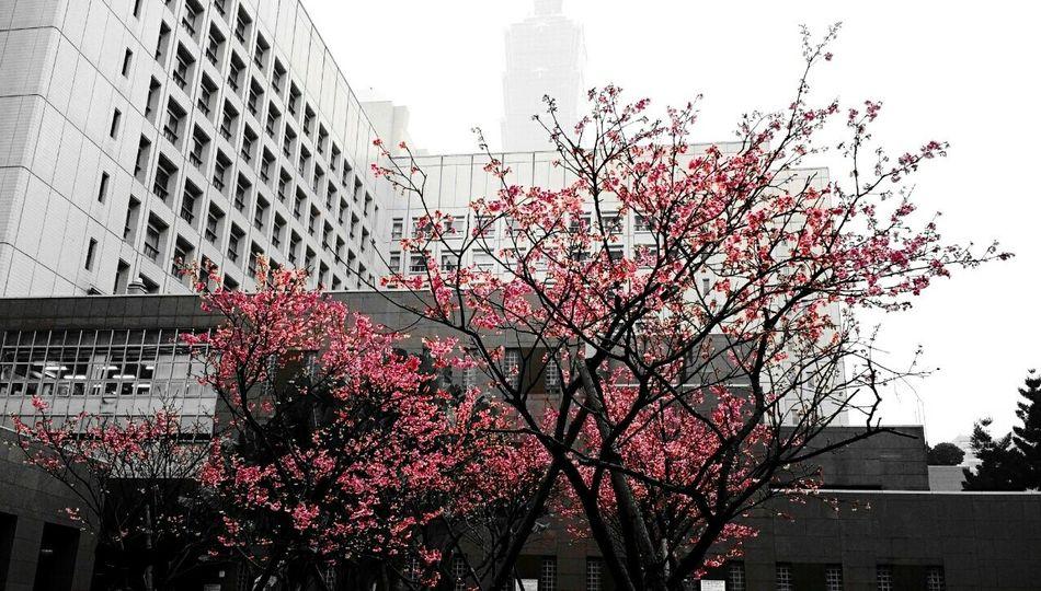 Beautiful Sakura Cold Winter StreetSnapShot Girl Taipei City Taiwan