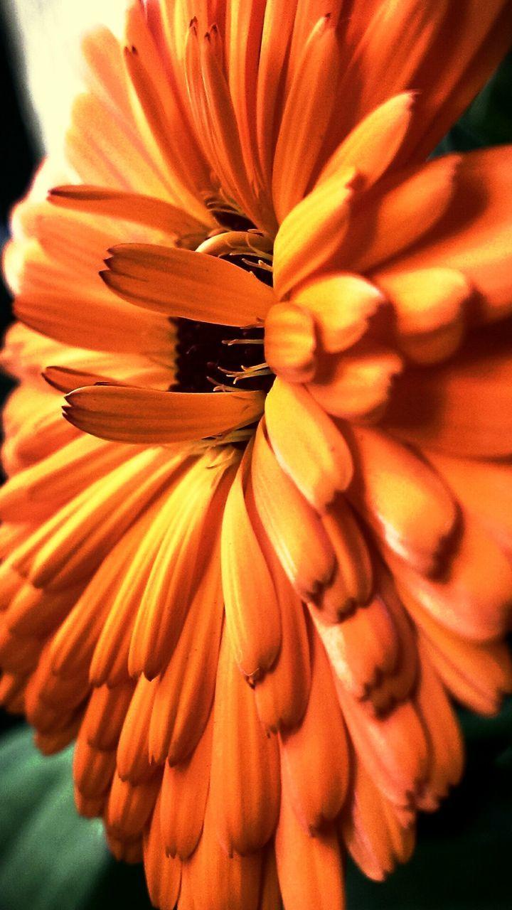 Macro Shot Of Orange Dahlia Head