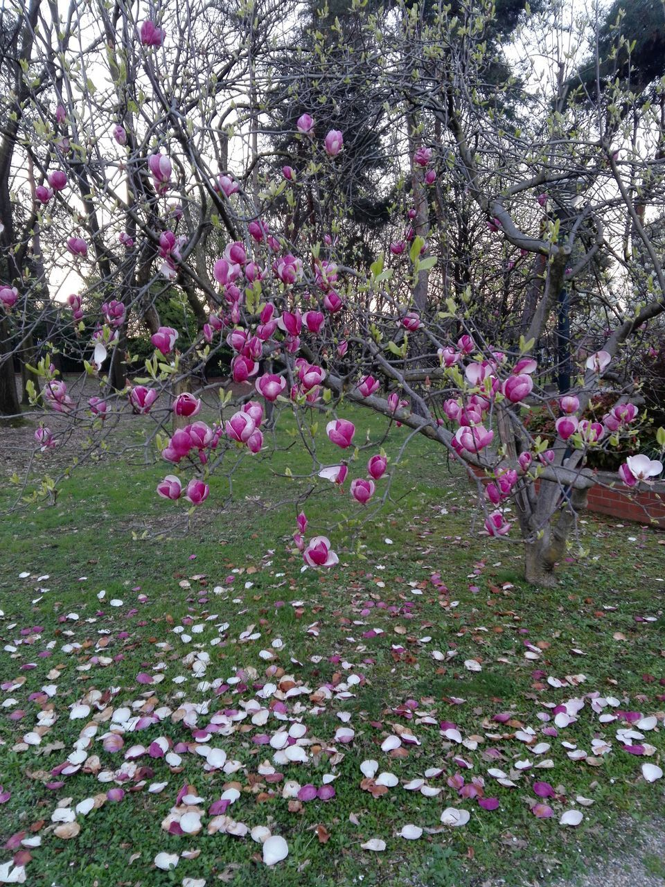 flower, growth, pink color, blossom, nature, tree, no people, purple, beauty in nature, plant, outdoors, pink, springtime, day, branch, freshness, fragility, grass, blooming
