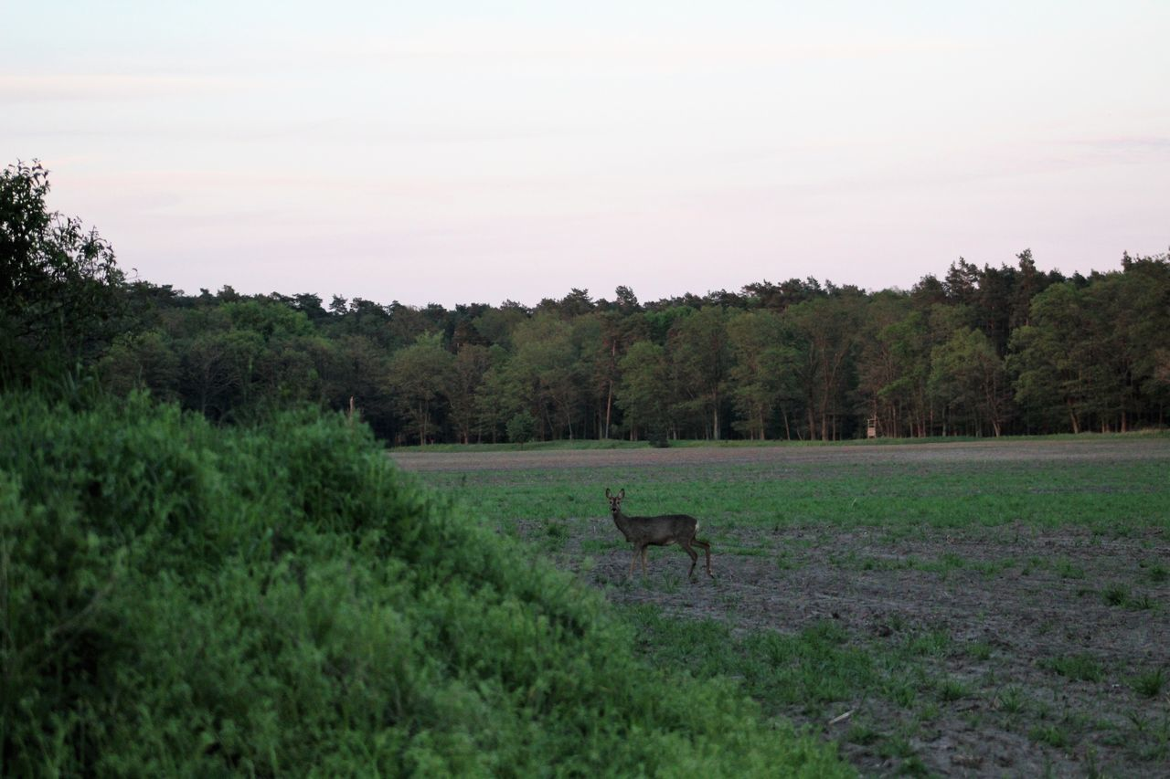 Roe Deer Rural Scene Nature Animal Themes Animals In The Wild Animalphotography Canonphotography Landscape Outdoors Day Beauty In Nature