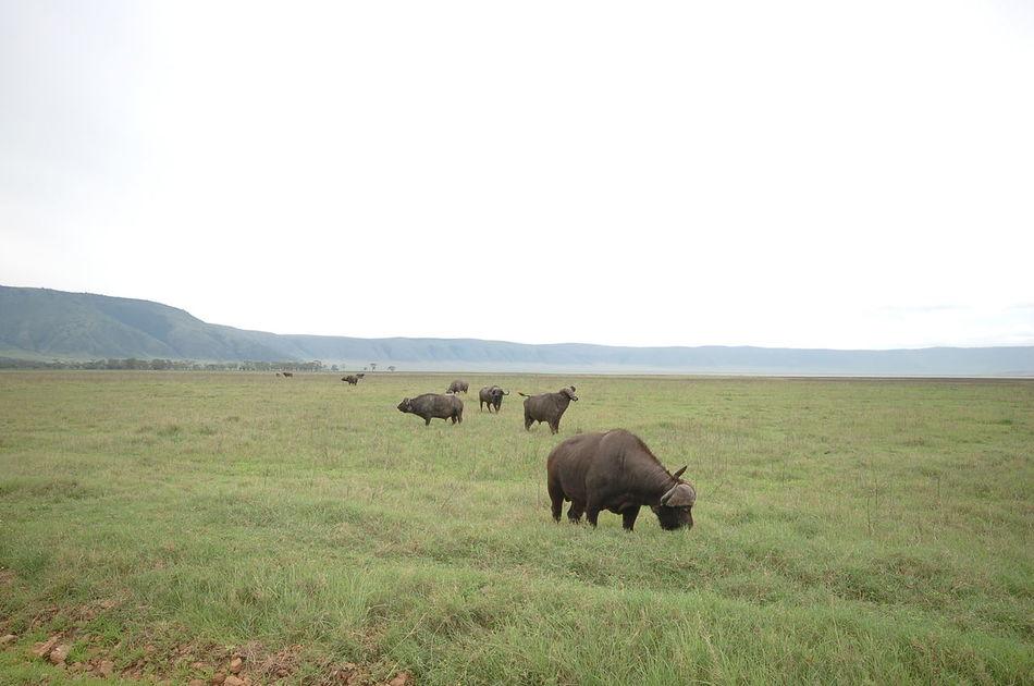 Beautiful stock photos of buffalo,  Animal Themes,  Animals In The Wild,  Buffalo,  Day