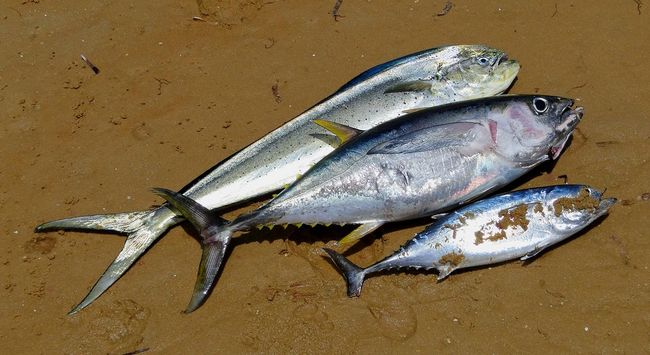 Catch of the day Bazaruto Island Bazaruto Lodge Beach Life Bonito Catch Of The Day Dead Animal Dorado Fish Gone Fishing Indian Ocean Mozambique Travel Photography Tuna Yellow Fin Tuna