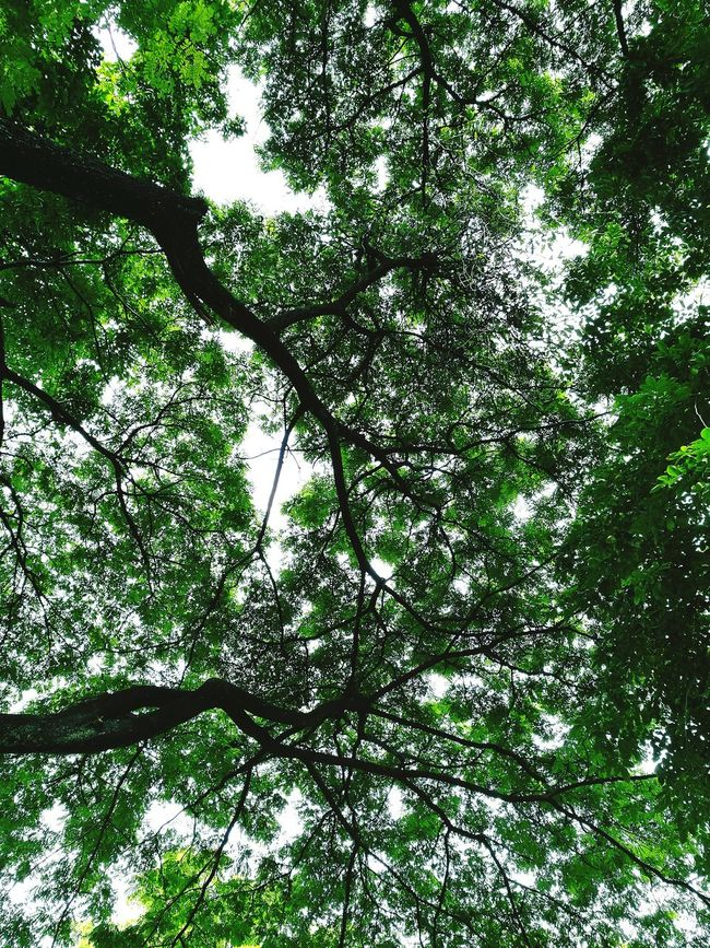 Trees and sky. Tree Tree_collection  Trees And Sky Tree Silhouette Treetop Tree Art Trees And Nature Treelovers Tree Of Life Tree Sky Sky Sky And Trees Skytree Green Leaves Green Nature Green Plant Green Background Green Day Green Color Green Leaf Green Trees