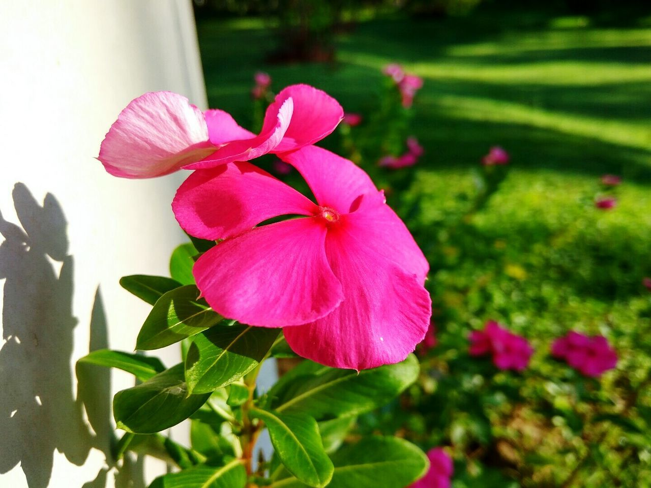 Flower Pink Color Plant Nature Petal Beauty In Nature Close-up Growth Flower Head Leaf Fragility Outdoors Freshness No People Day Nature EyeEm Best Shots The Way Forward Selective Focus High Angle View NiceShot Eyeemphotography Awesome_shots Beauty In Nature Freshness