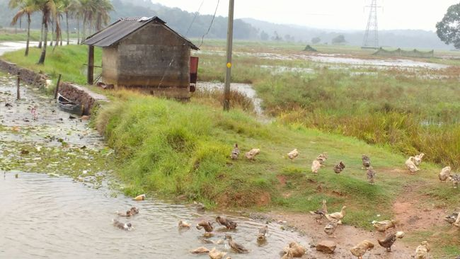 Raining Ducks Day Kottayam First Eyeem Photo