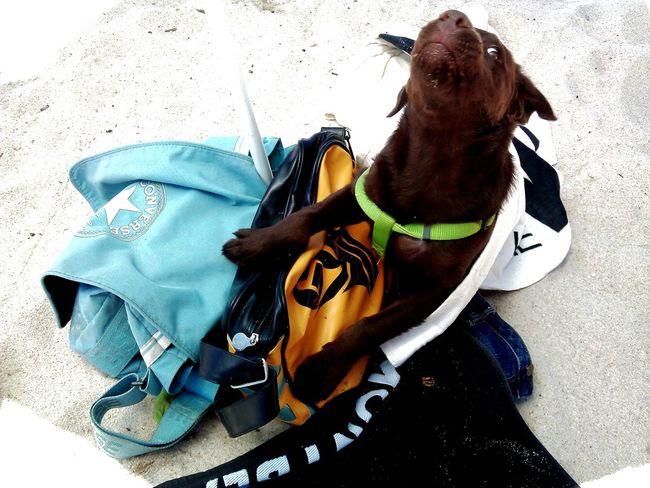 Beachdog Crazydog MyCrazyDog LabradorLove Labradorchocolate My Dogs Are Cooler Than Your Kids Dogsarefamily Dog Love Dogoftheday Labrador