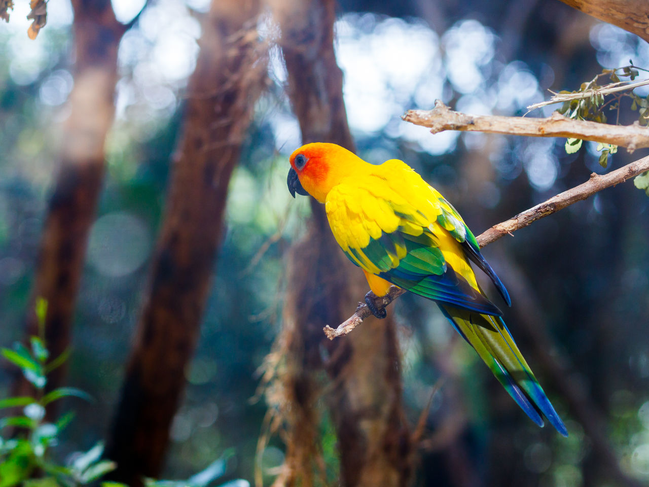 Sun Conure - Aratinga Solistalis - is sits on a tree branch Animal Themes Animals In The Wild Aratinga Background Beak Beak Beautiful Beauty In Nature Bird Branch Colorful Conure Exotic Feather  Nature No People One Animal Parrot Pet Sits Solistalis Sun Tree Wildlife Zoology