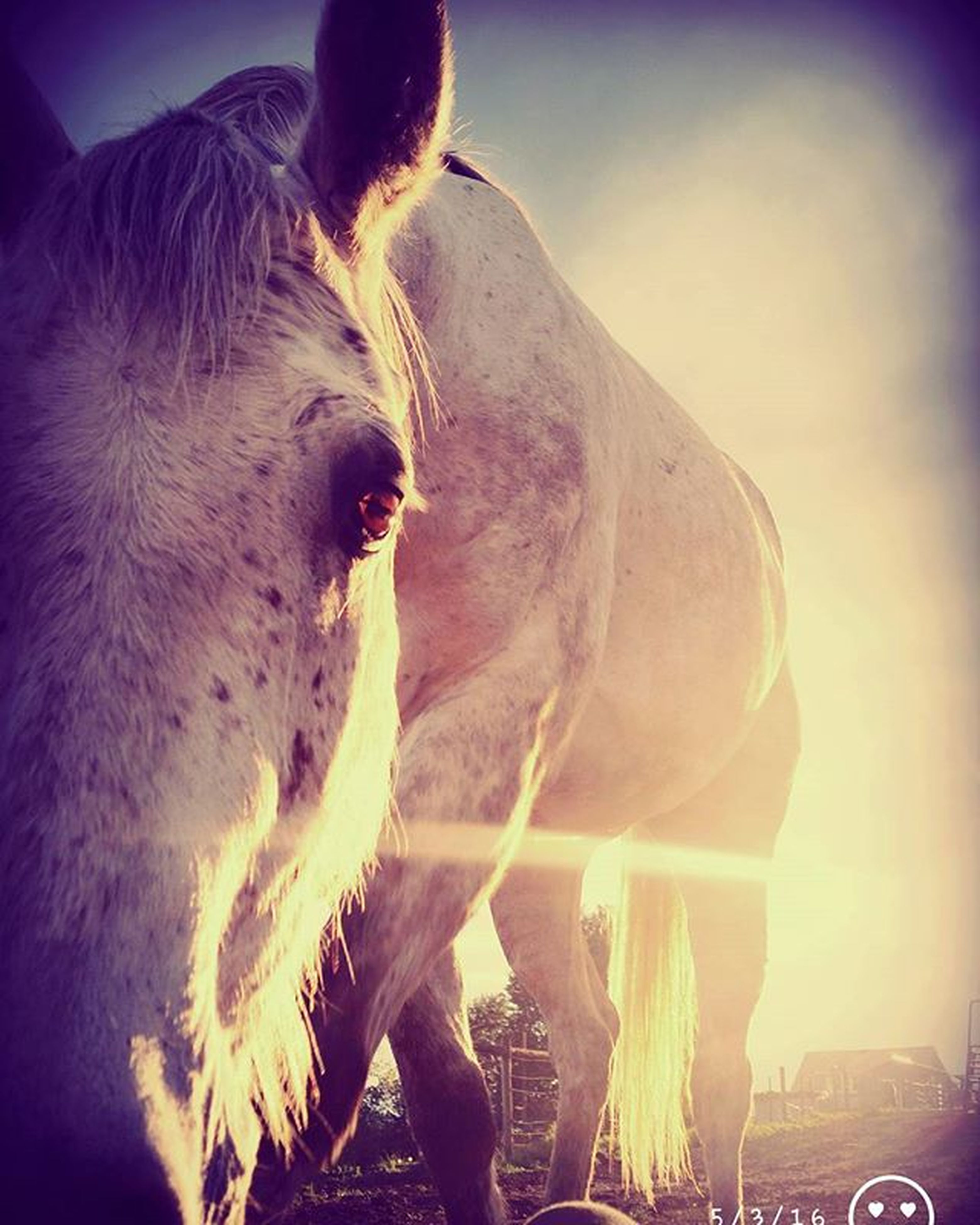 animal themes, one animal, horse, livestock, domestic animals, mammal, sunlight, close-up, outdoors, animal head, sunbeam, standing, sun, side view, working animal, animals in the wild, day, nature, lens flare, no people