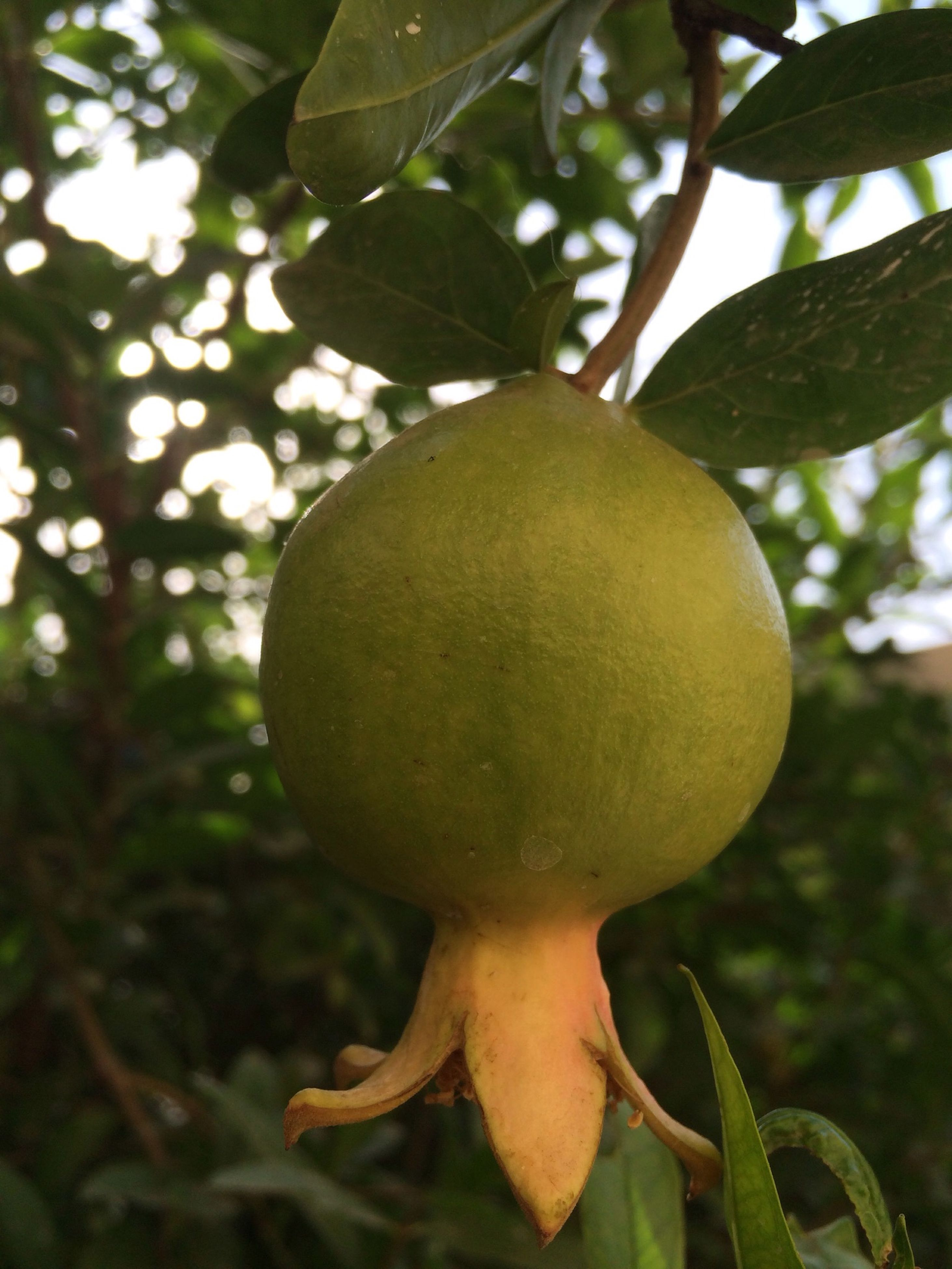 food and drink, fruit, tree, leaf, growth, food, freshness, healthy eating, branch, close-up, focus on foreground, green color, hanging, nature, ripe, apple tree, apple - fruit, low angle view, growing, day
