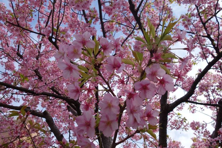 Tree Flower Beauty In Nature Springtime Nature Pink Color Growth Freshness Branch Fragility Blossom Low Angle View No People Cherry Tree Outdoors Sky Cherry Blossom Close-up Day Magnolia 雛まつり ひなまつり 三月三日