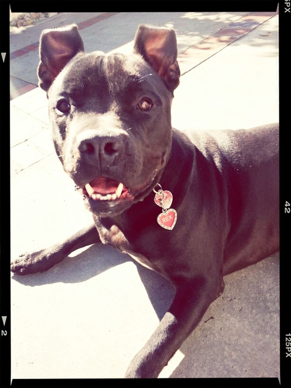 Dog My Pitbull