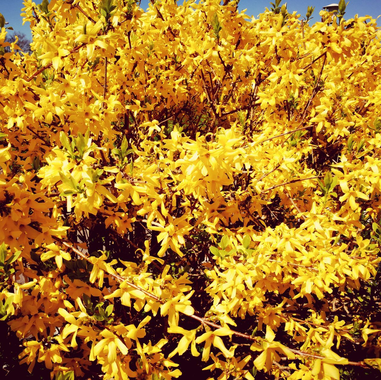 Yellow Gold Colored Nature No People Close-up Beauty In Nature Backgrounds Growth Full Frame Gold Outdoors Day Sun Spring Spring Flowers Lovley  Beauty Petal Leaf Plant Fragility Freshness Flower Blue Sky