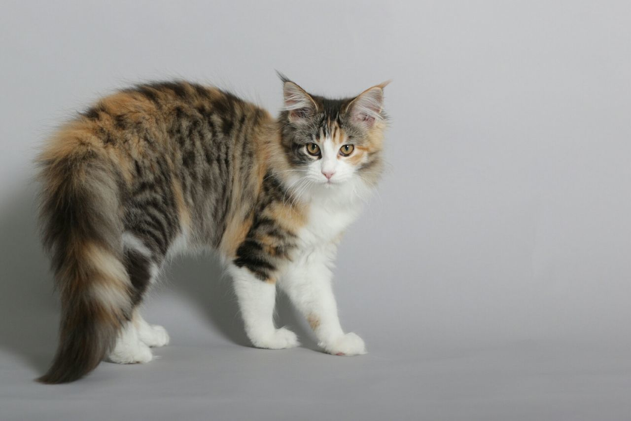Portrait Of Cat Against Gray Background
