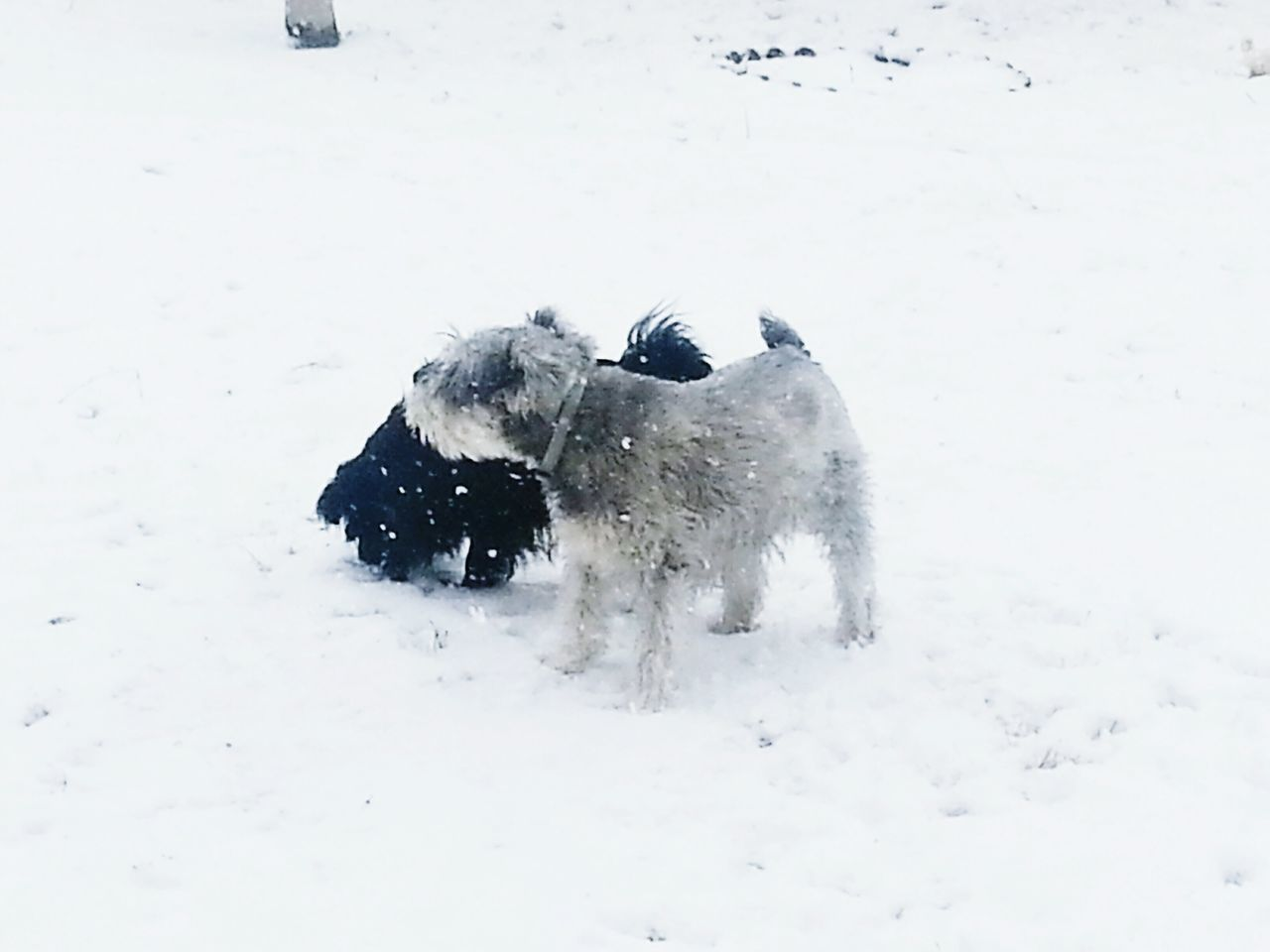 Black And Gray Terriers On Snow Covered Landscape
