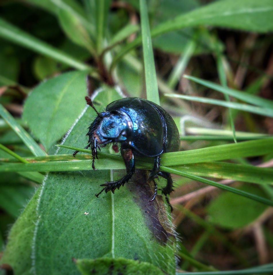 Insect Beetle Shiny Animal Themes Nature Animals In The Wild Plant One Animal Leaf Close-up No People Outdoors Day Grass Forest Meadow Green Blue Beetle Found Micro Nature Nature Bug Bugslife Founding Bugs Life