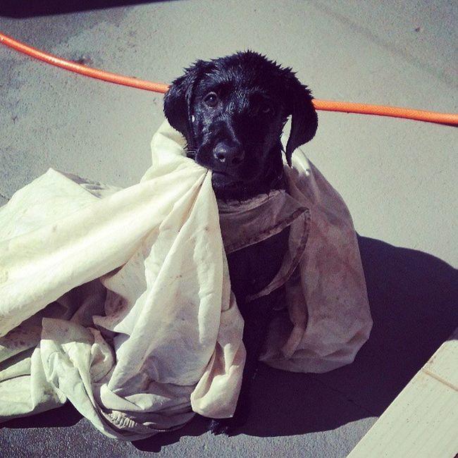 Hoje o rocky rasgou um lençol e ficou peso nele, além de entrar na piscina sozinho. Worldoflabs Laboftheday LabradorLove Rondolabs