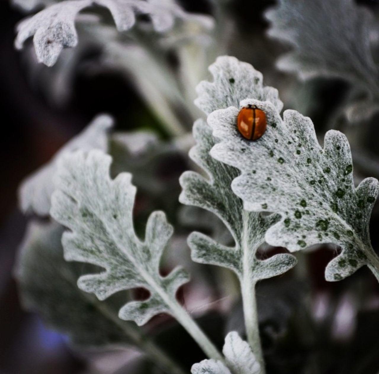 Ladybug Catarina SUERTE Good Luck Cineraria Planta NaturalezaNikon D5100  Foco Selectivo