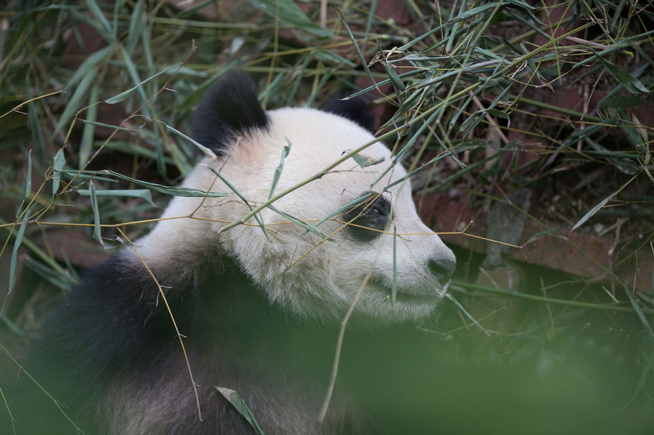 Beautiful stock photos of panda, Animal Themes, Animals In The Wild, Close-Up, Day