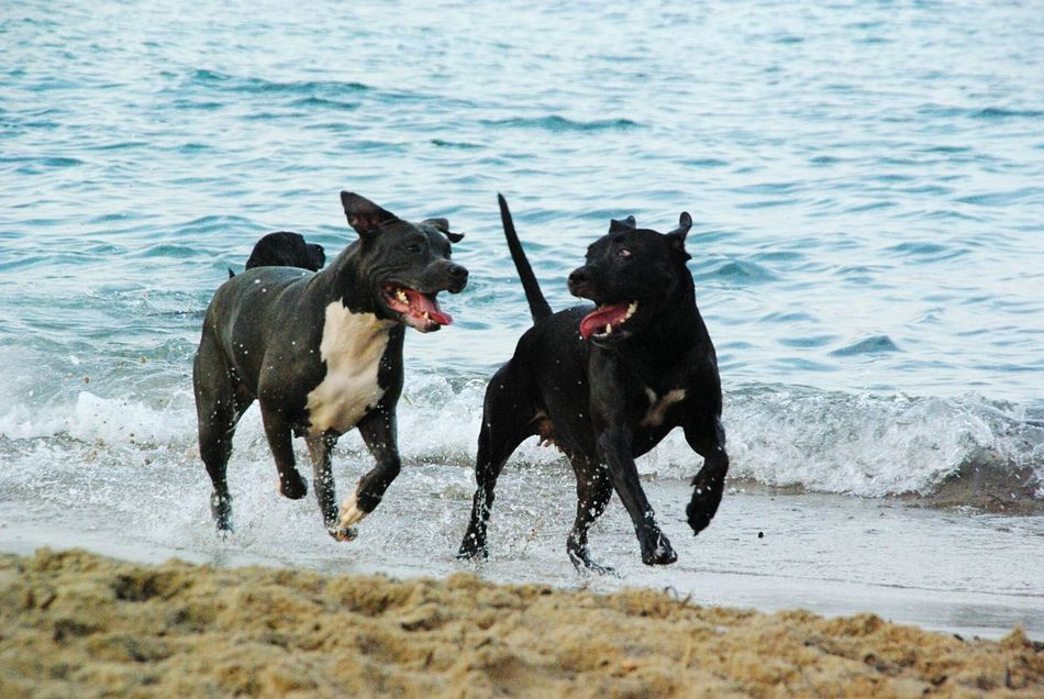 People And Places pitbull beach Domestic Animals Dog Animal Themes Pets Mammal Water Two Animals One Animal Pet Collar Vacations Canine Day Pitbull Zoology Tranquility Surf No People Beach Pitbullsofficial Pitbullsofinstagram Pitbullove Animal Nature Waterfront